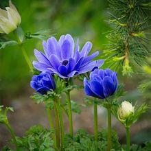 anemone-1514828_640