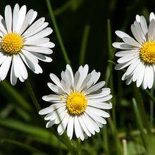 daisy-348548_640