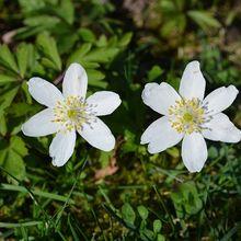 wood-anemone-753284_640