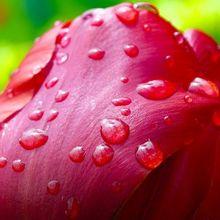 tulip-341677_640