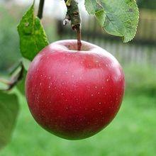 _big-red-apple