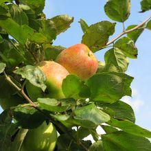 apple-467740_640