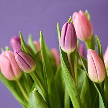 tulips-320151_640