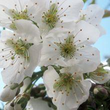 cherry-blossom-97736_640